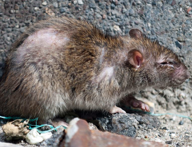 Giant 24 Inch Rat Caught At Dublin Home Newstalk